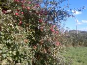 apples in fall2015