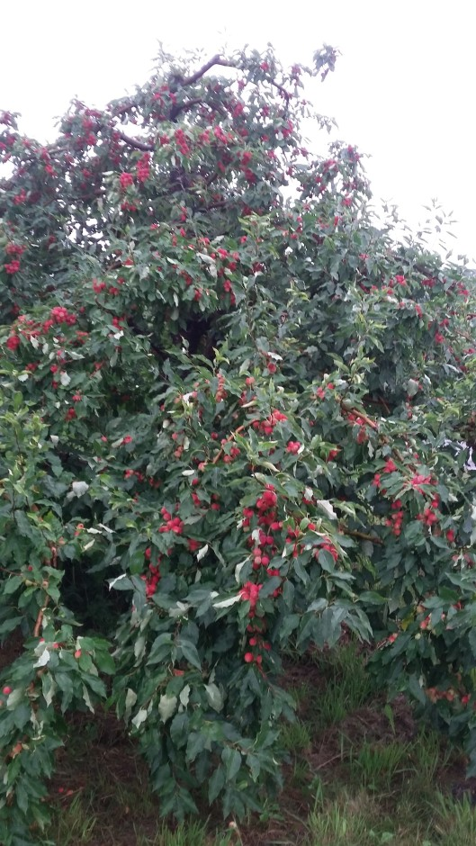 orchard shots 2016 013